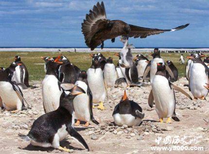贼鸥为什么叫贼鸥_贼鸥为什么是企鹅的天敌