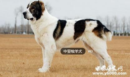 这种勇猛无畏的牧羊犬几百年或是几千年来一直被用作