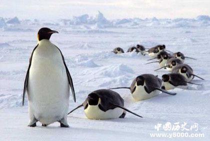 企鹅的翅膀是怎么来的 企鹅的翅膀为什么不能飞