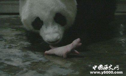 大熊猫阿宝诞下龙凤胎_大熊猫阿宝诞下龙凤胎成全球最重_中国历史网