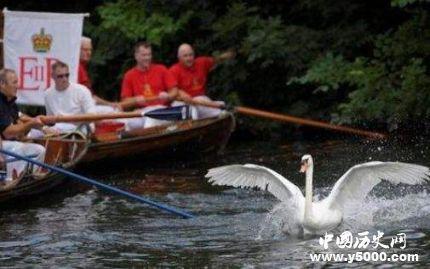 英国王室鹅口普查_英国王室数天鹅传统的由来