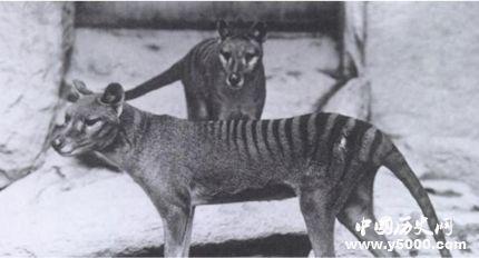 袋狼是什么动物_袋狼灭绝了吗_袋狼的灭绝原因是什么