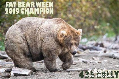 美国最胖的熊_美国最胖的熊是什么_美国最胖的熊叫什么