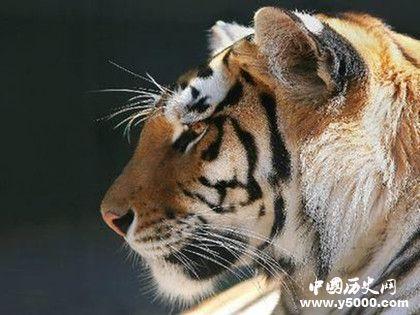世界上最大的老虎_世界上最大的老虎是什么_世界上最大的老虎有多大_中國歷史網