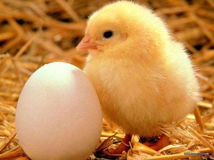 先有雞還是先有蛋_先有雞還是先有蛋的最佳答案_中國歷史網