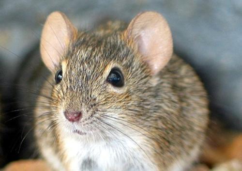 十二生肖為什么老鼠排在第一_十二生肖老鼠的故事_中國歷史網